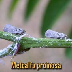 alien-parasites-Metcalfa-pruinosa