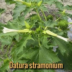 alien-parasites-datura-stramonium
