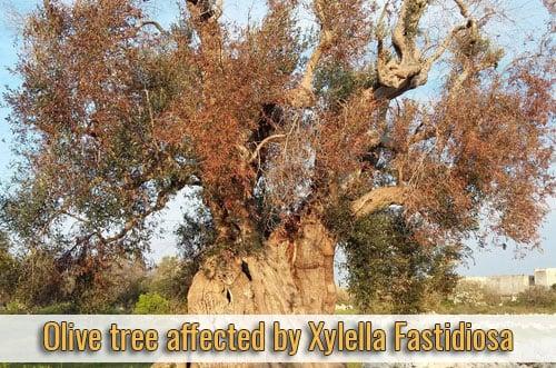 alien-parasites-olive-tree