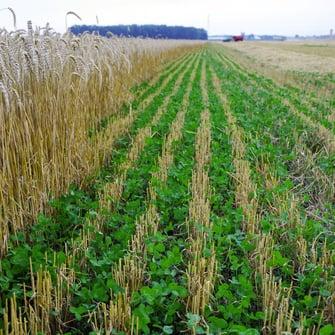 cover-crops-2-bulatura.jpg