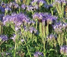 cover-crops-6-phacelia.jpg