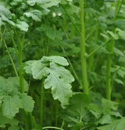 green-manure-horticolture-crucifere