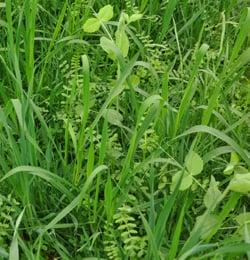 green-manure-horticolture-miscuglio
