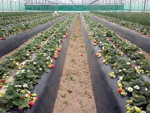 mulching-technique-strawberries