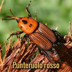 parassiti-alieni-Punteruolo-rosso
