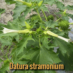 parassiti-alieni-datura-stramonium