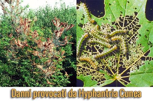 parassiti-alieni-hyphantria-cunea-danni