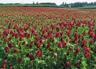 stanchezza-del-terreno-cover-crop-trifoglio.jpg