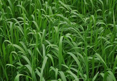 green-manure-horticolture-avena-strigosa