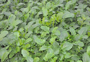 green-manure-horticolture-senape-bruna